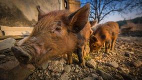 Tre maiali nel cortile Fotografie Stock Libere da Diritti