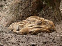 Tre maiali selvaggi Fotografie Stock Libere da Diritti