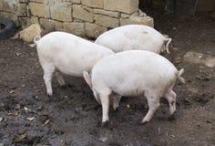 Tre maiali stanno combattendo per l'alimento Fotografia Stock Libera da Diritti