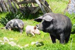 Tre maiali su un prato Fotografia Stock