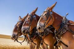 Tre majestätiska hästar Fotografering för Bildbyråer