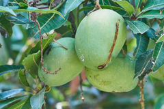 Tre manghi verdi che pendono da un albero Immagine Stock Libera da Diritti