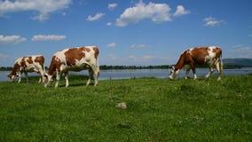 Tre marroni e mucche bianche che pascono vicino all'acqua un giorno soleggiato stock footage