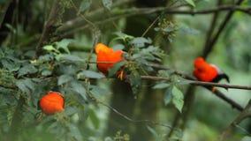 Tre maschi del peruvianus andino del Rupicola della Gallo-de--roccia che dyplaing sul ramo e sulle femmine aspettanti archivi video
