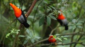 Tre maschi del peruvianus andino del Rupicola della Gallo-de--roccia che dyplaing sul ramo e sulle femmine aspettanti video d archivio