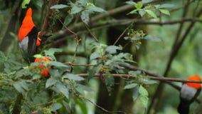 Tre maschi del peruvianus andino del Rupicola della Gallo-de--roccia che lekking e che dysplaing sul ramo e sulle femmine aspetta stock footage