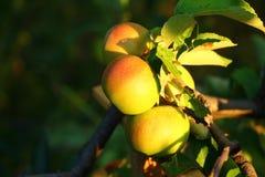 Tre mele fresche su un ramo Immagine Stock