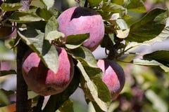Tre mele in frutteto Immagini Stock