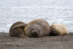 Tre mirounga leonina del sud giovanili delle guarnizioni di elefante che si trovano sulla riva in Antartide Immagine Stock Libera da Diritti