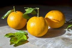 Tre mogna apelsiner med stammen och sidor som sitter i solsken på f Royaltyfria Foton