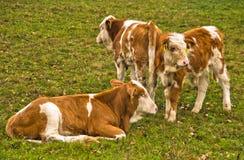 Tre molto giovani vitelli su un prato all'autunno immagini stock