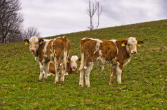 Tre molto giovani vitelli su un prato all'autunno Fotografie Stock Libere da Diritti