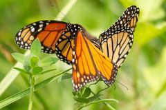 Tre monarker arkivfoto