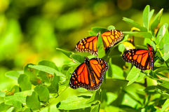 Tre monarker arkivfoton