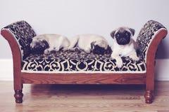 Tre mops som sover på soffan Arkivbild