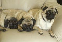 Tre mopshundar på soffan arkivfoton