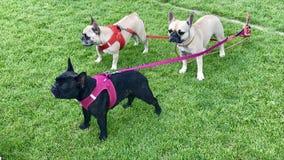 Tre mopshundkapplöpning Royaltyfria Bilder