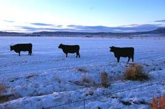 Tre mucche Fotografia Stock Libera da Diritti