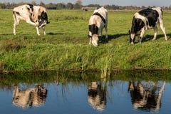 Tre mucche che pascono nel prato Fotografie Stock Libere da Diritti