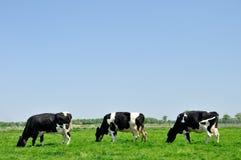 Tre mucche che pascono nel prato Fotografia Stock Libera da Diritti