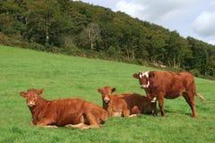 Tre mucche del Brown Immagini Stock