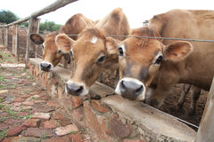 Tre mucche della Jersey Fotografie Stock Libere da Diritti