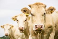 Tre mucche marroni Fotografia Stock