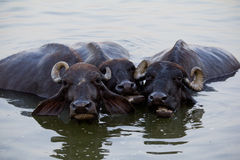 Tre mucche sfuggono a dal calore nel fiume Immagini Stock