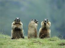 Tre murmeldjur royaltyfri bild