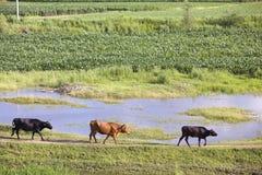 Tre nötkreatur på flodbanken i sommar Fotografering för Bildbyråer