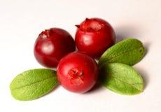 Tre nya mogna tranbär eller lingon på vit med sidor royaltyfria foton