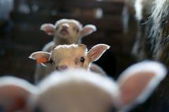 Tre nyfikna lamm i en stall. Royaltyfria Bilder