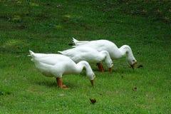 Tre oche bianche Fotografia Stock