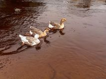 Tre oche che nuotano in una fila sul fiume Immagini Stock Libere da Diritti