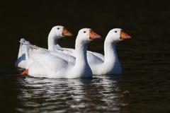 Tre oche domestiche bianche che nuotano sullo stagno Immagini Stock