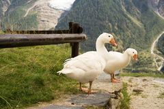 Tre oche nel Alpes della Francia fotografia stock libera da diritti