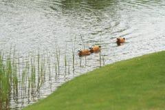 Tre Ogar in una fila Fotografie Stock