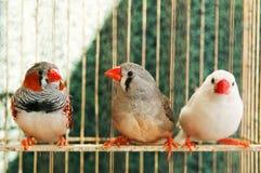 Tre olika kanariefåglar Arkivfoton
