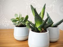Tre olika vintergröna houseplants i små krukor Royaltyfri Foto