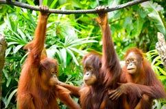Tre orangutang Fotografering för Bildbyråer