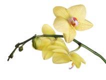 Tre orchidee e germogli giallo limone fini Immagine Stock