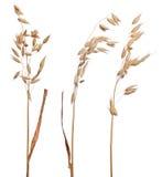 Tre orecchie asciutte marroni dell'avena isolate su bianco Immagine Stock