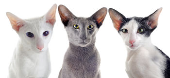 Tre orientaliska katter Royaltyfri Fotografi