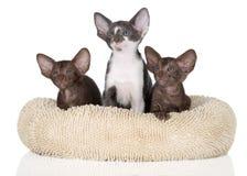 Tre orientaliska kattungar Arkivbilder