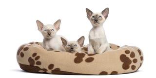 Tre orientaliska Shorthair kattungar, 9 gammala veckor Royaltyfri Foto