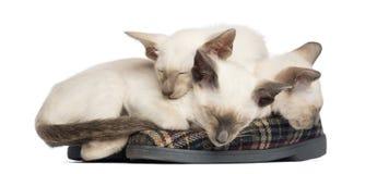 Tre orientaliska Shorthair kattungar, 9 gammala veckor Fotografering för Bildbyråer