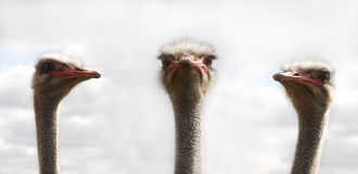 Tre ostrichs Fotografia Stock