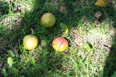 Tre päron på gräset Royaltyfria Bilder