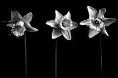 Tre påskliljor i svartvitt Royaltyfria Foton