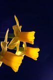 Tre påskliljor mot mörk bakgrund Royaltyfri Foto